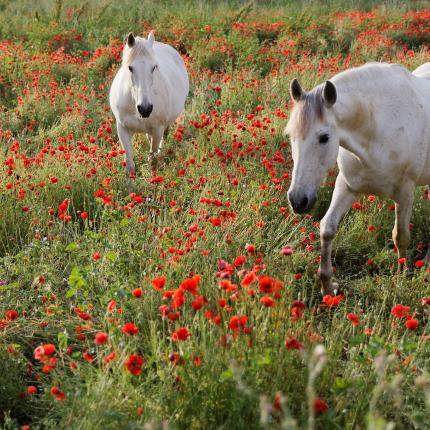 Photo de deux chevaux dans un près de coquelicots